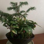 モミとヤブコウジの苔盆栽